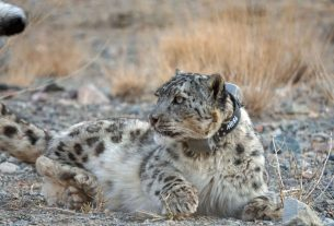 Photo by Snow Leopard Trust / Snow Leopard Conservation Foundation