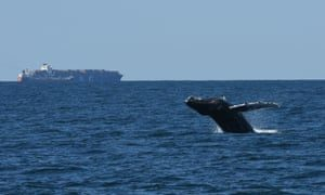 A humpback whale breaches in New York Bight, one of the busiest waterways in the world. Photograph: WCS Ocean Giants