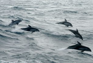 The findings, published in the Proceedings of the Royal Society B by an international team of researchers from the Universities of Bristol, Zurich and Western Australia adds even more insight into the social habits of dolphins.Image credits: NOAA.