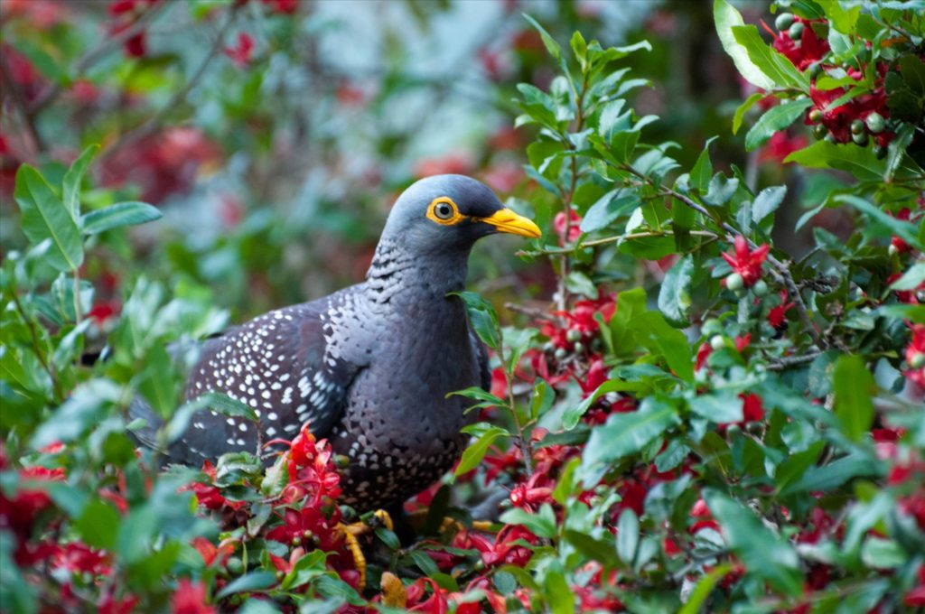 The African Olive Pigeon — a fancy bird which enjoys fancy neighborhoods. Image credits: Dom Henry.