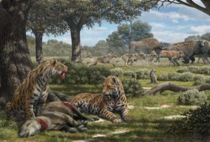 Illustration depicting the hunting behavior of La Brea carnivores, including saber-toothed cats, dire wolves, and coyotes. Credit: Mauricio Antón.