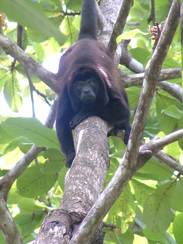 A howler monkey looks down from the trees in Costa Rica.